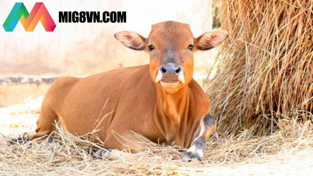 Mơ thấy bò điềm báo gì?