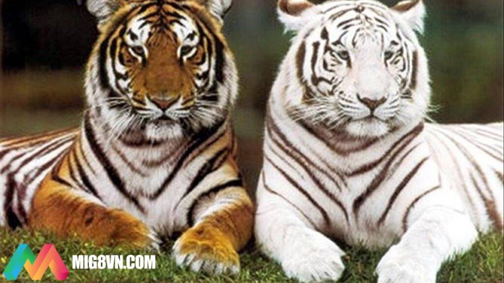 Mơ thấy Hổ đánh con gì
