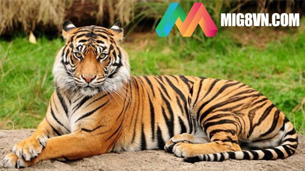 Nằm mơ thấy Hổ