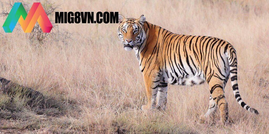 Nằm mơ thấy Hổ điềm báo gì?