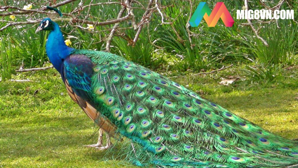 Mơ thấy chim công đánh con gì?