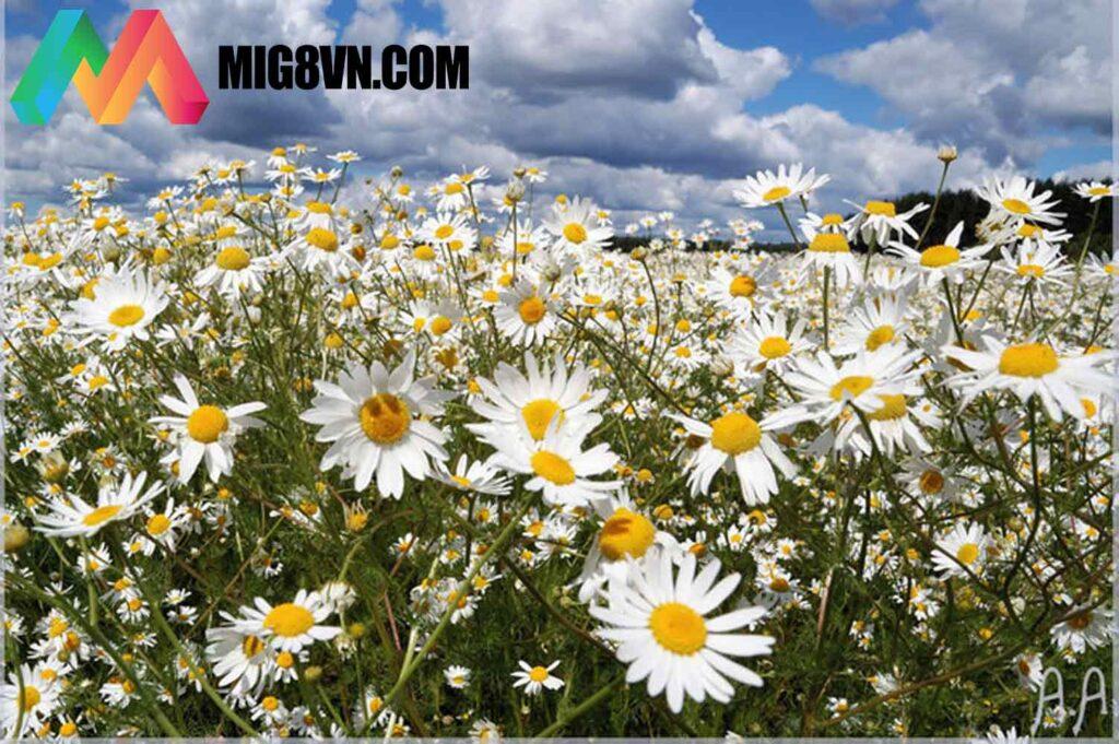 Mơ thấy hoa cúc
