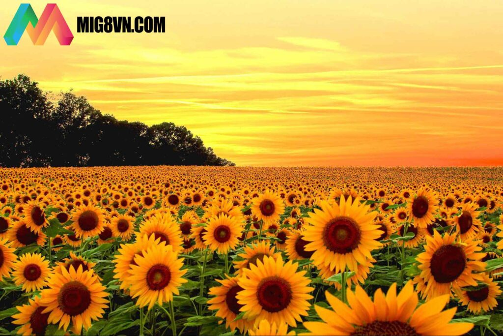 Mơ thấy hoa hướng dương