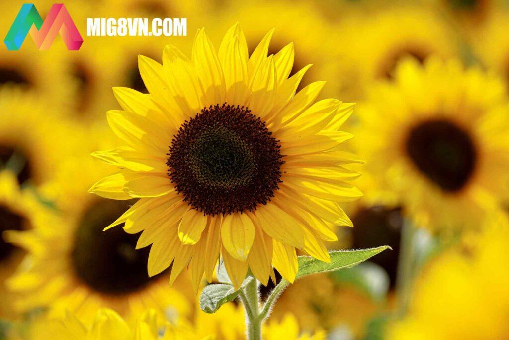 Mơ thấy hoa hướng dương điềm báo gì