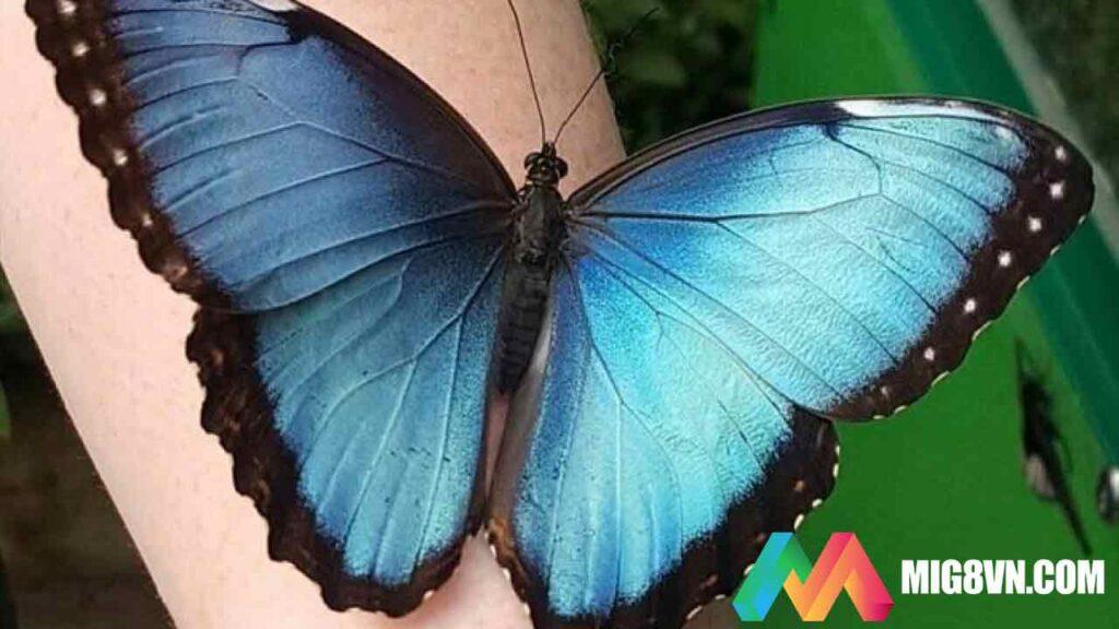Nằm mơ thấy bươm bướm điềm báo gì