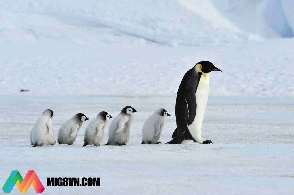 Nằm mơ thấy chim cánh cụt
