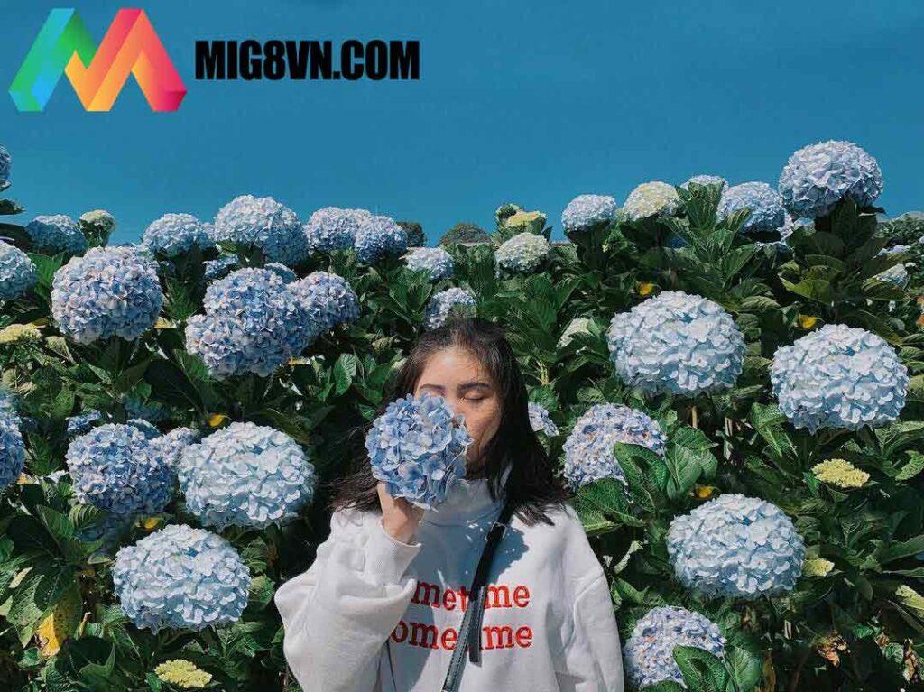 Nằm mơ thấy hoa cẩm tú cầu