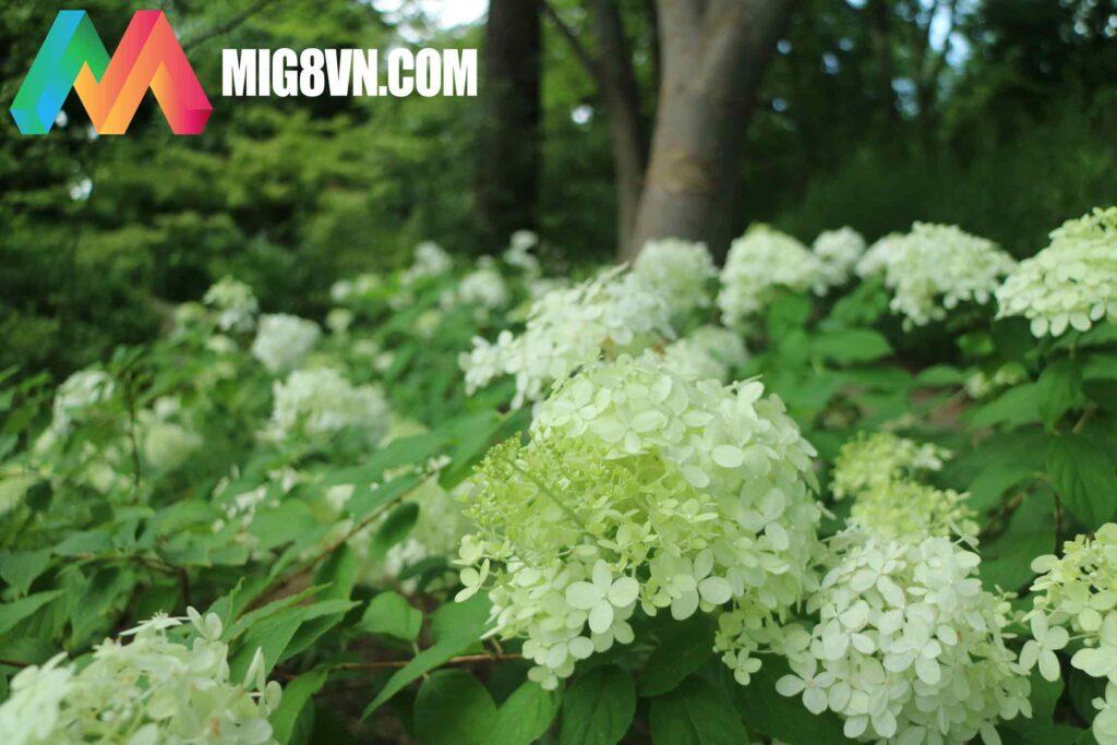 Nằm mơ thấy hoa cẩm tú cầu điềm báo gì
