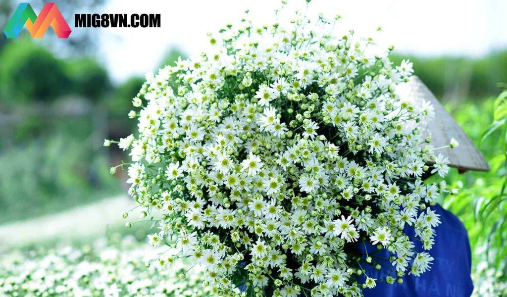 Nằm mơ thấy hoa cúc đánh con gì