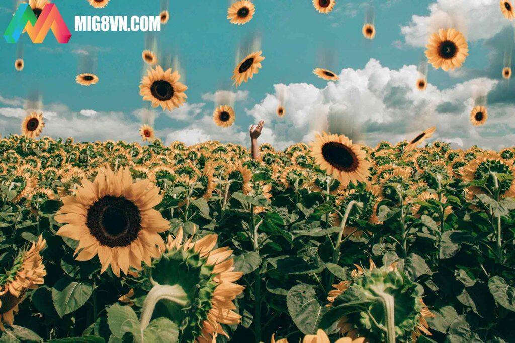 Nằm mơ thấy hoa hướng dương