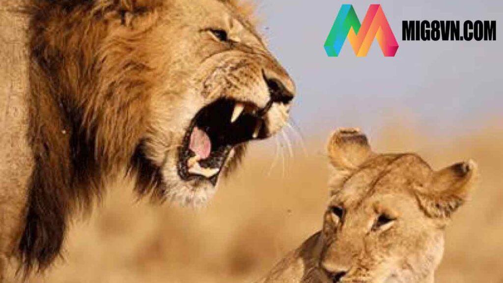 Nằm mơ thấy sư tử đánh con gì