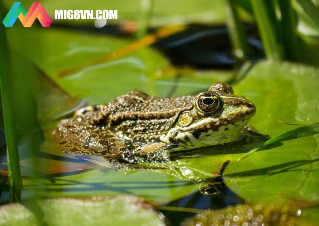 Nằm mơ thấy ếch điềm báo gì