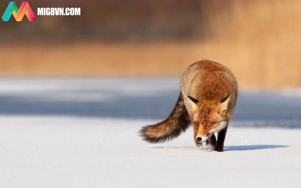 Mơ thấy con cáo điềm báo gì